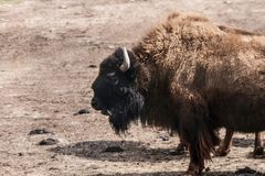 Portrait of one American bison Stock Images