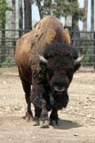 American bison Royalty Free Stock Image