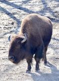 American Bison. An American bison also known as buffalo standing in the sun. The buffalo is a symbol of the wild American west Stock Photography