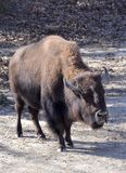 American Bison. An American bison also known as buffalo standing in the sun. The buffalo is a symbol of the wild American west Royalty Free Stock Image