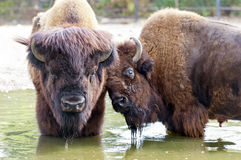 American bison / American buffalo Royalty Free Stock Photography
