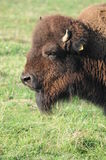 American Bison / American Buffalo Stock Photo