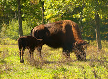 American bison, american buffalo Royalty Free Stock Images