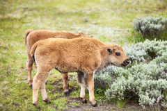 American Bison Baby Calf Royalty Free Stock Photo