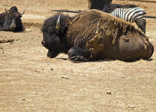 American bison. A big bison under the sun Royalty Free Stock Photos