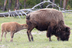 American Bison, Bison bison. Baby Bison nurses as his mother grazes at Grand Teton National Park in Wyoming Stock Photo