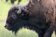 American Bison, Bison bison Stock Photo