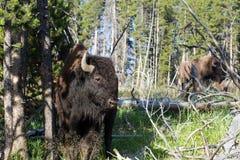 American Bison, Bison bison Stock Image