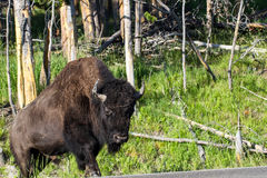 American Bison, Bison bison Stock Photos