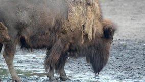 American bison (Bison bison) Stock Images