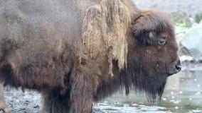 American bison (Bison bison) Royalty Free Stock Images