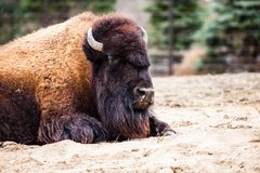 American Bison (Bison Bison) or Buffalo Royalty Free Stock Image