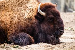 American Bison (Bison Bison) or Buffalo Stock Images