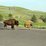 American Bison, Bison bison Royalty Free Stock Photography