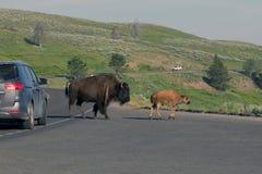 American Bison, Bison bison Royalty Free Stock Images