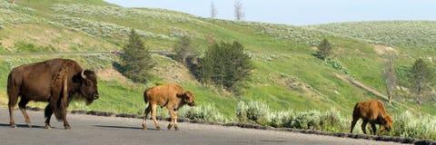 American Bison, Bison bison Royalty Free Stock Photos