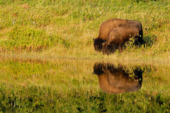 American Bison (Bison bison) Couple Feeding Royalty Free Stock Images