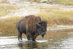 American Bison (Bison bison) Royalty Free Stock Photography