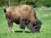 American bison Bison bison Royalty Free Stock Photography