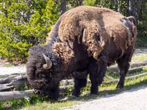 American Bison Bison bison feeding grass royalty free stock photos