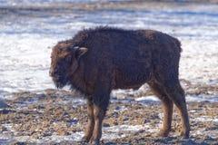 American bison (Bison bison) Stock Photos