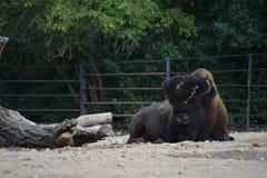 American bison (Bison bison). American bison in the Prague ZOO Stock Photos