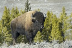 American Bison  in wintertime Stock Image
