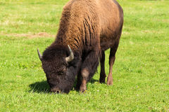 American bison(Bison bison) simply buffalo Royalty Free Stock Images