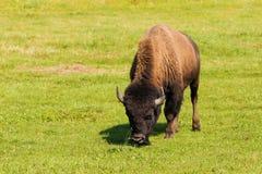 American bison (Bison bison) simply buffalo Stock Photos