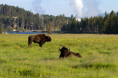 American Bison, Bison bison Royalty Free Stock Photos