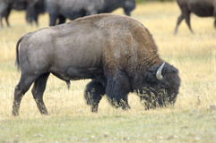 American Bison (Bison bison) Stock Photography