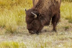 American buffalo ,wyoming national state park yellowstone. American bison Bison bison in Yellowstone national state park .Nature scene from Wyoming royalty free stock image