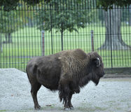 American bison or buffalo. Side view of American bison or buffalo in captivity Stock Photo