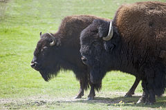 American Bison - Buffalo. Two American Buffalo or Bison, standing side by side in a grassy field Stock Photos