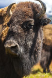 American Bison or Buffalo Stock Photography