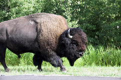 American Bison / Buffalo stock images