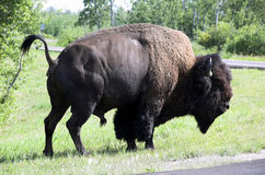 American Bison / Buffalo. Wild bison (buffalo) wandering in meadowland in spring, elk island national park, alberta, canada Royalty Free Stock Photography