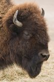 American bison or buffalo. In side angle view Stock Photography