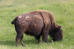 American Bison or Buffalo. Eating grass in Yellowstone National Park, USA Royalty Free Stock Images