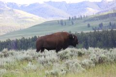 American Bison or Buffalo. In Yellowstone National Park, beautiful landscape background Royalty Free Stock Images