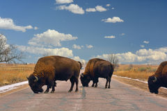 American Bison Buffalo Block a Road Royalty Free Stock Photos