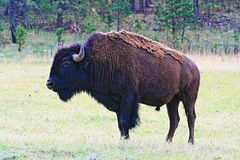 American Bison Buffalo Bull in Wind Cave National Park Stock Images