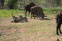 American Bison, or Buffalo, calf rolling in the dirt Stock Photo