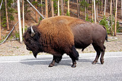 American Bison (Buffalo). Crossing the road in Yellowstone National Park, USA Royalty Free Stock Images