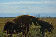 American Bison Buffalo with Denver, Colorado and Mountains visible in the Distance.  Stock Photography