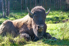 American bison - buffalo Stock Images