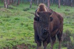 American bison - buffalo Stock Photography
