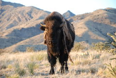 Bison Buffalo Molting. A buffalo stands in front of mountains with long strands of molting fur hanging down that looks like a coat Stock Photography