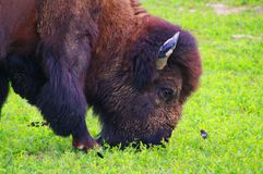 American Bison, Buffalo, Montana. The American bison or simply bison Bison bison, also commonly known as the American buffalo or simply buffalo, is a North royalty free stock image