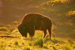 American Bison, Buffalo, Montana royalty free stock photos